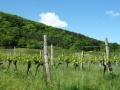 Weingärten Gumpoldskirchen