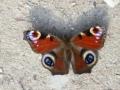 der 1. Schmetterling