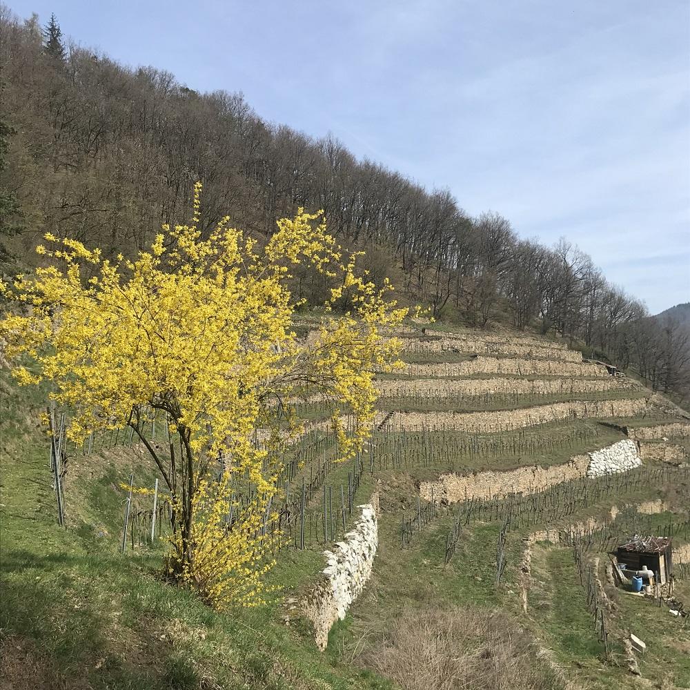 Terrassenweinbau