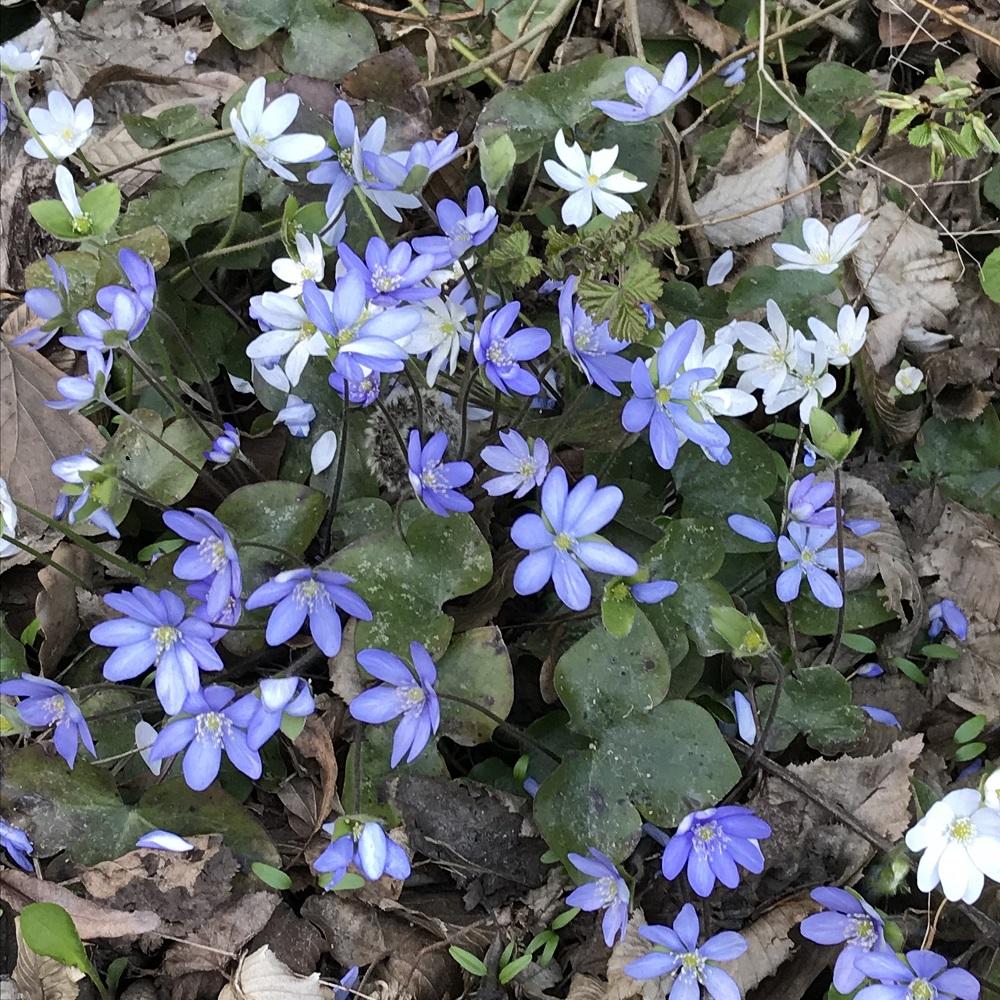 Leberblümnchen blau und weiß