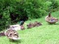 Entenfamilie am Ennsufer bei Schladming